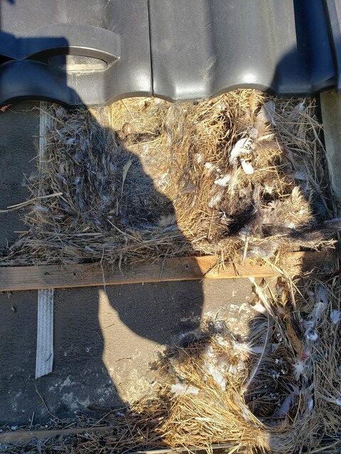 鳥の巣撤去